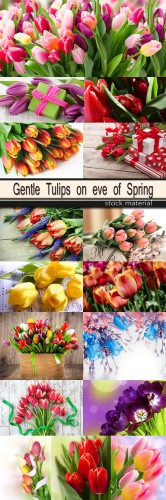 Gentle Tulips on eve of Spring
